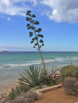 Amerika-agave på Menorca