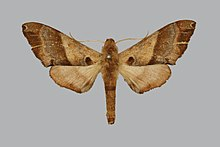 Agnosia microta, male, upperside. India, Mhow.jpg