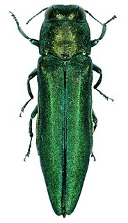 Emerald ash borer Species of beetle