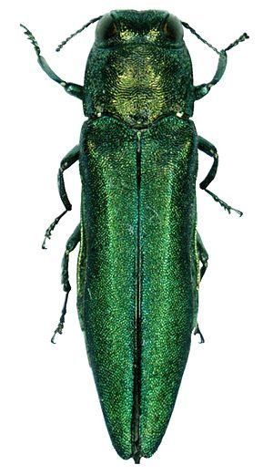 Emerald ash borer - Image: Agrilus planipennis 001
