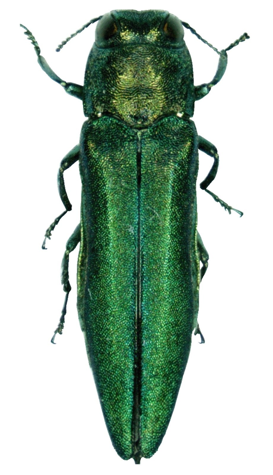 Agrilus planipennis 001