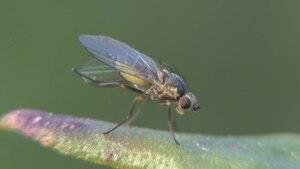 File:Agromyzidae-2012-05-27.ogv