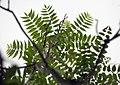 Ailanthus altissima (17681035351).jpg