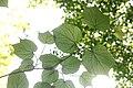 Alangium platanifolium var. trilobatum s2.jpg