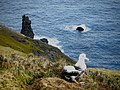 Albatros hurleur à Pointe Basse - panoramio.jpg