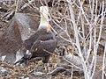 Albatross birds - Espanola - Hood - Galapagos Islands - Ecuador (4871028451).jpg