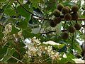 Aleurites rockinghamensis 2.jpg