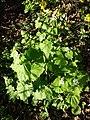 Alliaria petiolata sl3.jpg