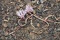 Allium crenulatum 6388.JPG