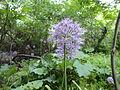 Allium stipitatum.JPG