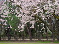 Almendros en flor X.jpg