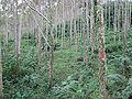 Alnus acuminata.jpg
