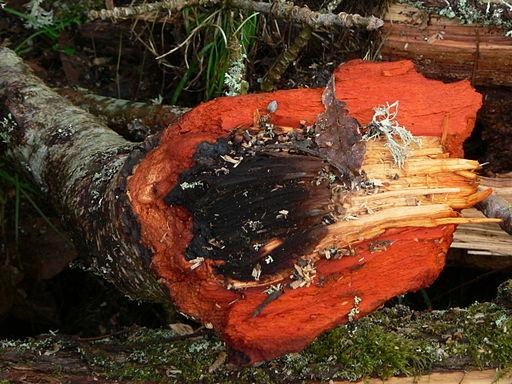 coupe d'un tronc d'aulne rouge