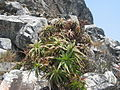 Aloe arborescens - Chimanimani 4 (10238120674).jpg