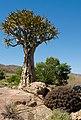 Aloe dichotoma (Asphodelaceae - Xanthorrhoeaceae) and Euphorbia stellaspina (Euphorbiaceae) (4087579486).jpg