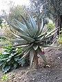 Aloe marlothii.jpg