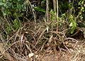 Aloe mossurilensis - in habitat (9587040147).jpg