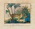 Aloys Zötl Der Maragua Felis Tigrina 1836.jpg