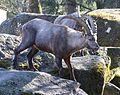 Alpensteinbock Capra ibex ibex Tierpark Hellabrunn-5.jpg