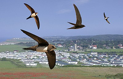 Alpine Swift from the Crossley ID Guide Britain and Ireland.jpg