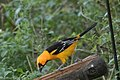 Altamira Oriole National Butterfly Center Mission TX 2018-03-01 16-18-47 (38853061950).jpg