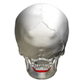 Alveolar part of mandible - skull - posterior view.png