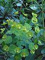 Amandelwolfsmelk Euphorbia amygdaloïdes 'Robbiae' closeup.jpg