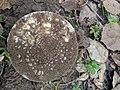 Amanita gemmata 30944874.jpg
