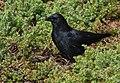 American Crow (30681109387).jpg