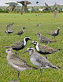 American Golden Plover From The Crossley ID Guide Eastern Birds.jpg