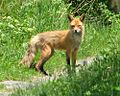 American Red Fox.jpg