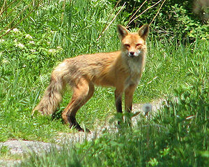 English: American Red Fox (Vulpes vulpes fulvu...