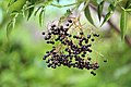 American elderberry (Sambucus canadensis)1.jpg