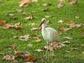 American white ibis in a public park, Jacksonville, FL.pdf