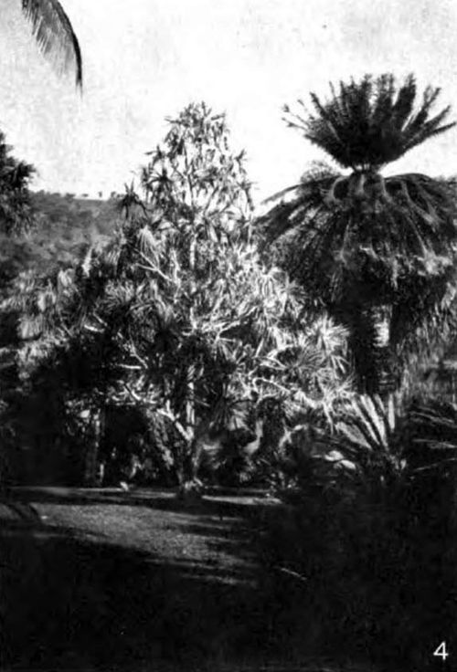 Americana 1920 Forest Trees - Sago-palm and Screw-pine.jpg