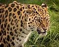 Amur Leopard (222066929).jpeg