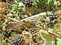 Anacridium aegyptium (Acrididae) (Egyptian Grasshopper) - (imago), Narbolia (comuni), Italy - 3.jpg