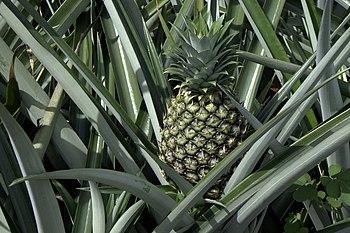 English: Pineapple on its plant, Costa Rica De...