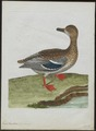 Anas boschas - 1790-1796 - Print - Iconographia Zoologica - Special Collections University of Amsterdam - UBA01 IZ17600361.tif