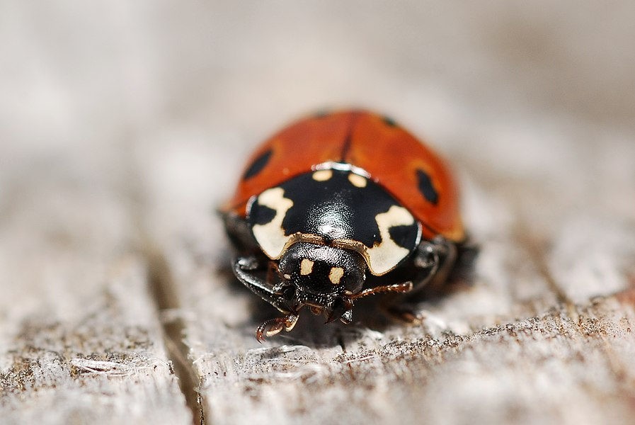 A widespread ladybird species (though generally not present in high abundances) living on coniferous trees