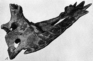 Anchiceratops - Type specimen AMNH 5251