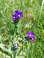 Anchusa officinalis sl7.jpg