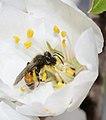 Andrena krausiella female 1.jpg
