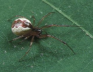 <i>Anelosimus</i> genus of arachnids