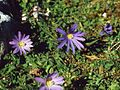 Anemone blanda 2.jpg
