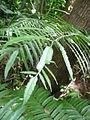 Angiopteris lygodiifolia (天問).jpg