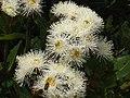 Angophora hispida Angophora hispida IMG 6520 (2045352269).jpg