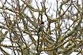 Anna's Hummingbird - Shoreline Park.jpg