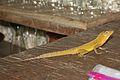 Anolis oculatus at Brandy Manor-2010-06-28-IMG 3063.jpg