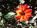 Another Red Or Bit Orange kind Cosmos.jpg